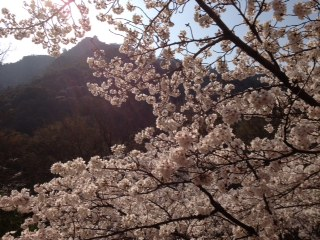 朝陽の中の桜と金華山